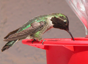 Anna s Hummingbird Photo Copyright Richard Fray