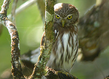 Ferruginous Pygmy-Owl photographed in Belize