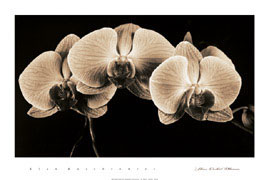 Three Orchid Blooms
