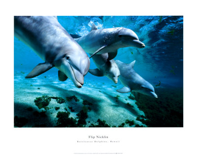 Bottlenose Dolphins, Hawaii